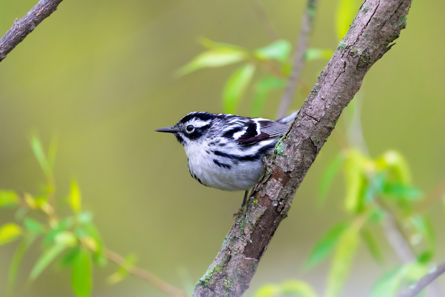 Black and White Warbler by Mariano de Miguel