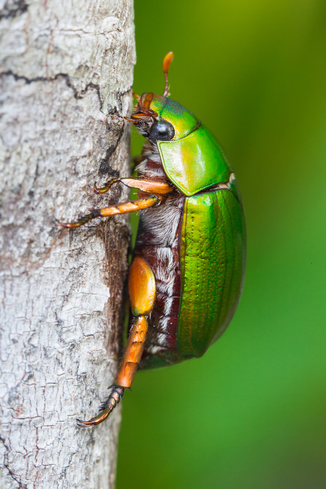 Christmas Beetle by Dave Pinson