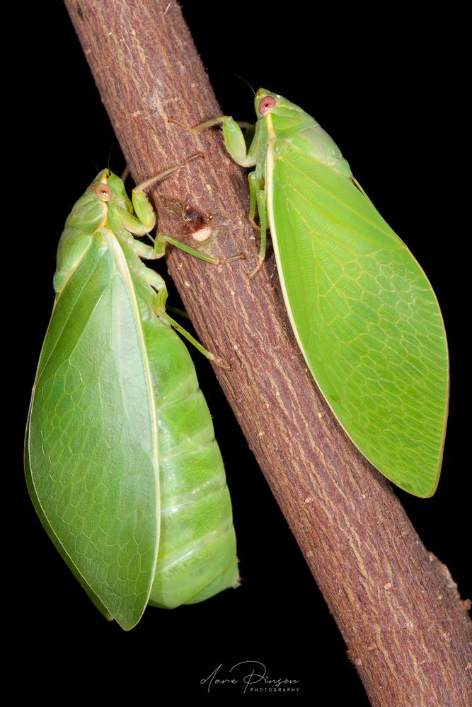 Bladder Cicadas by Dave Pinson