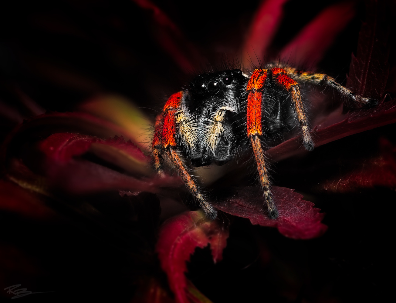 Philaues Chrysops by Roberto Benis