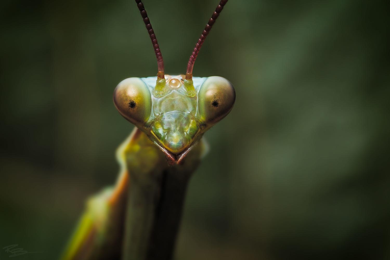 Praying Mantis by Roberto Benis