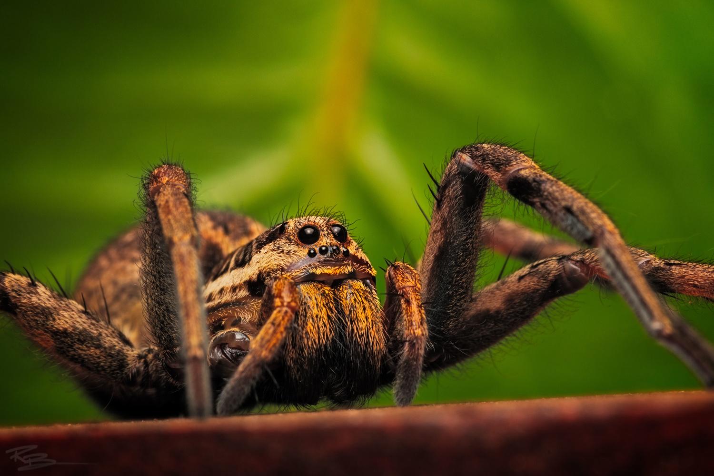 Wolf Spider by Roberto Benis