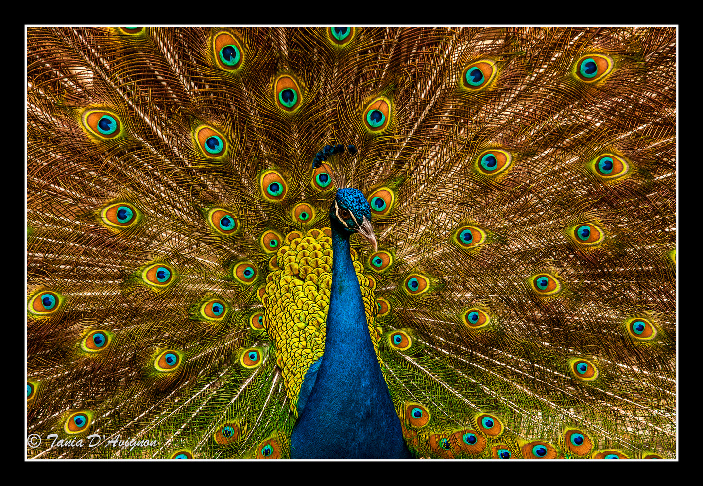 Portrait of a Peacock by Tania D'Avignon