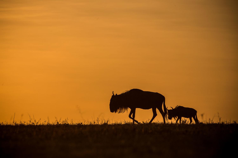 The Migration in Masai Mara by Karanja Njiiri