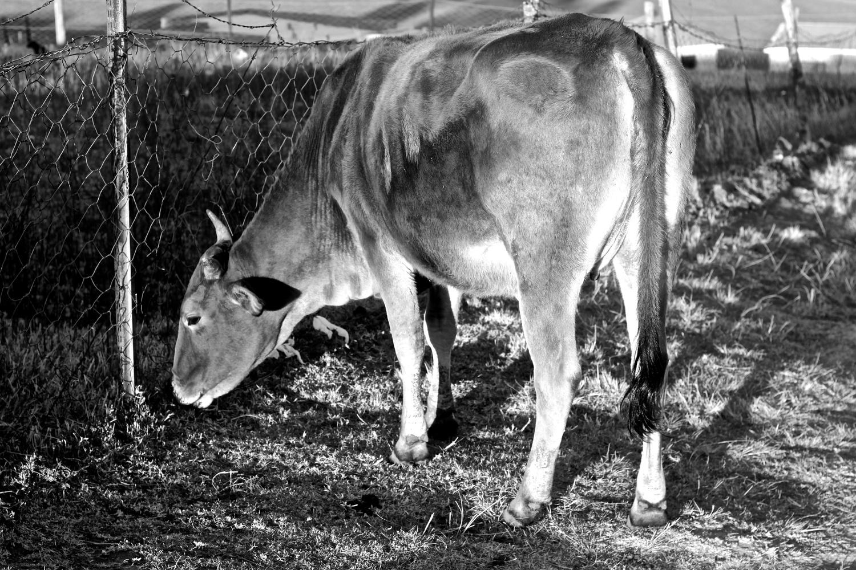 Pregnant Rural Cow by Sivuyisiwe Giba