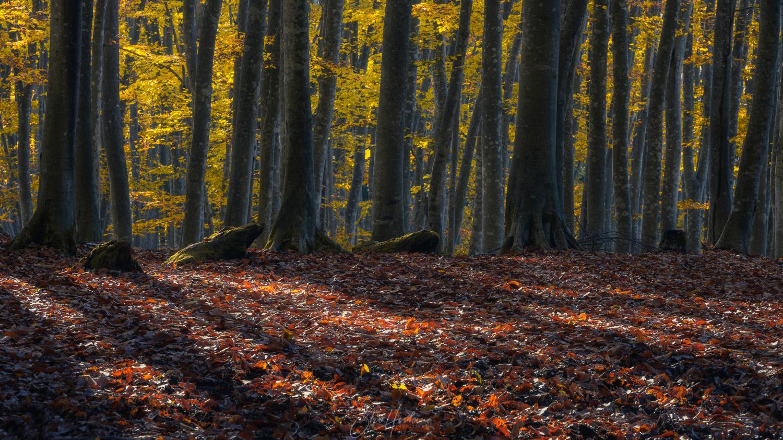 Beech forest by Sho Hoshino