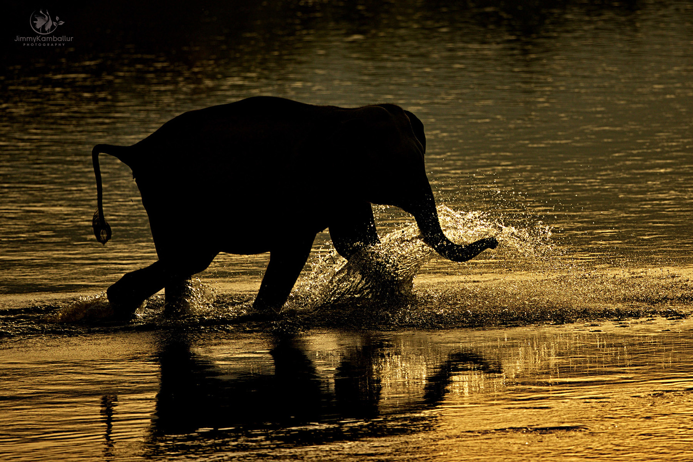 Elephant by Jimmy Kamballur