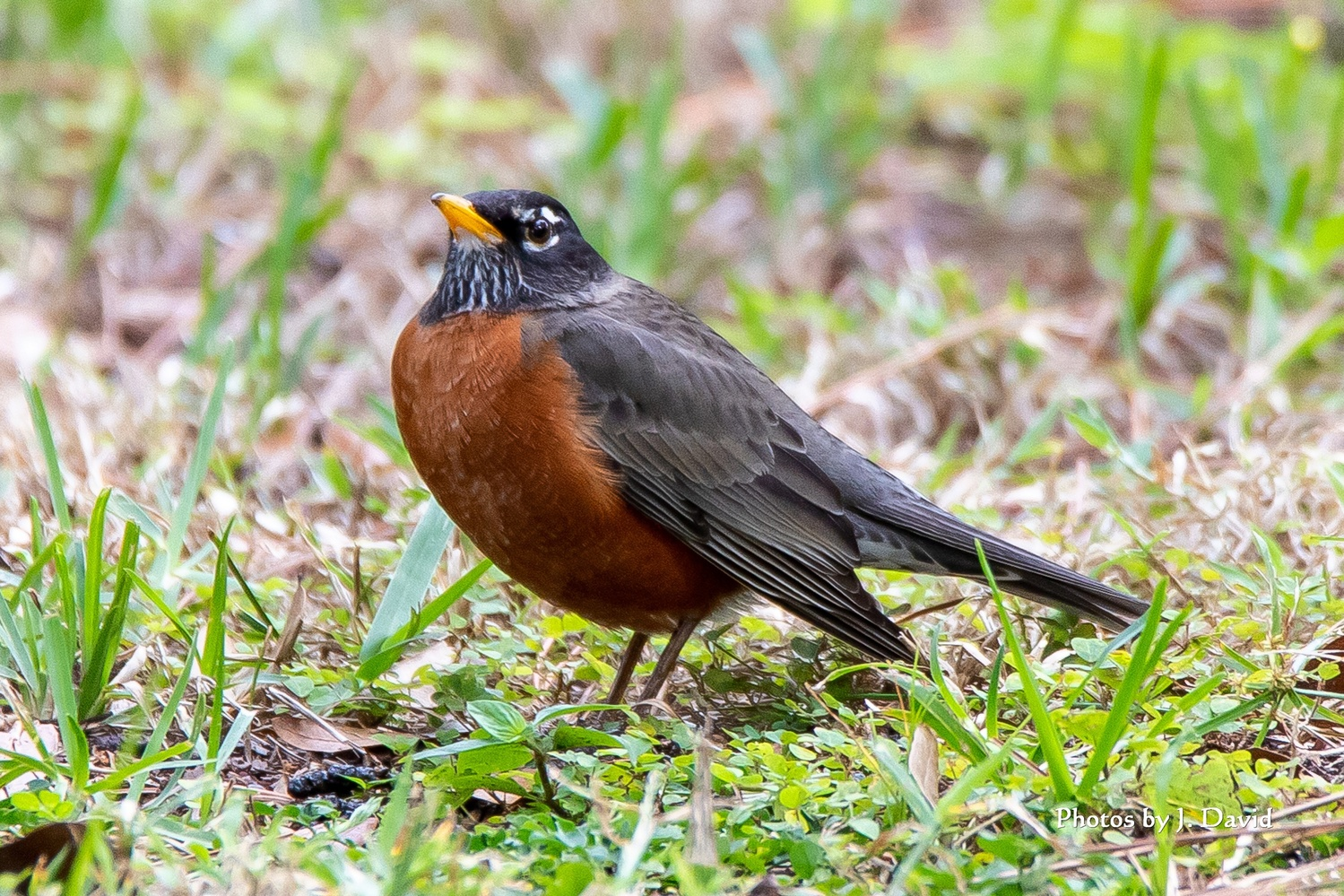 Robin by Dave Wright