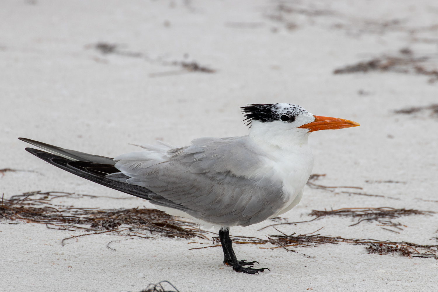 Tern by Dave Wright