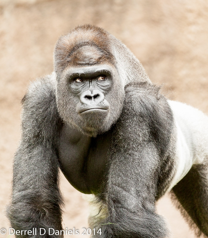 Silverback Gorilla King of the Zoo by Derrell Daniels
