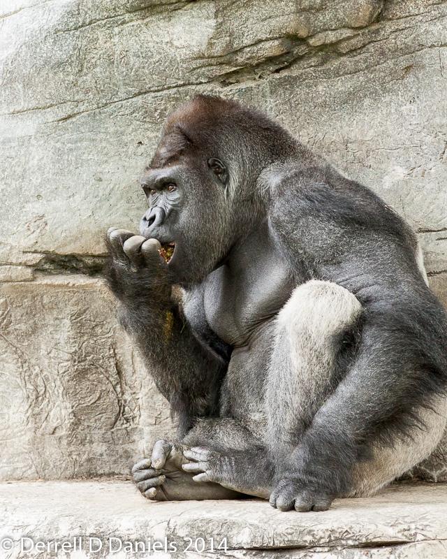 Silverback Gorilla by Derrell Daniels