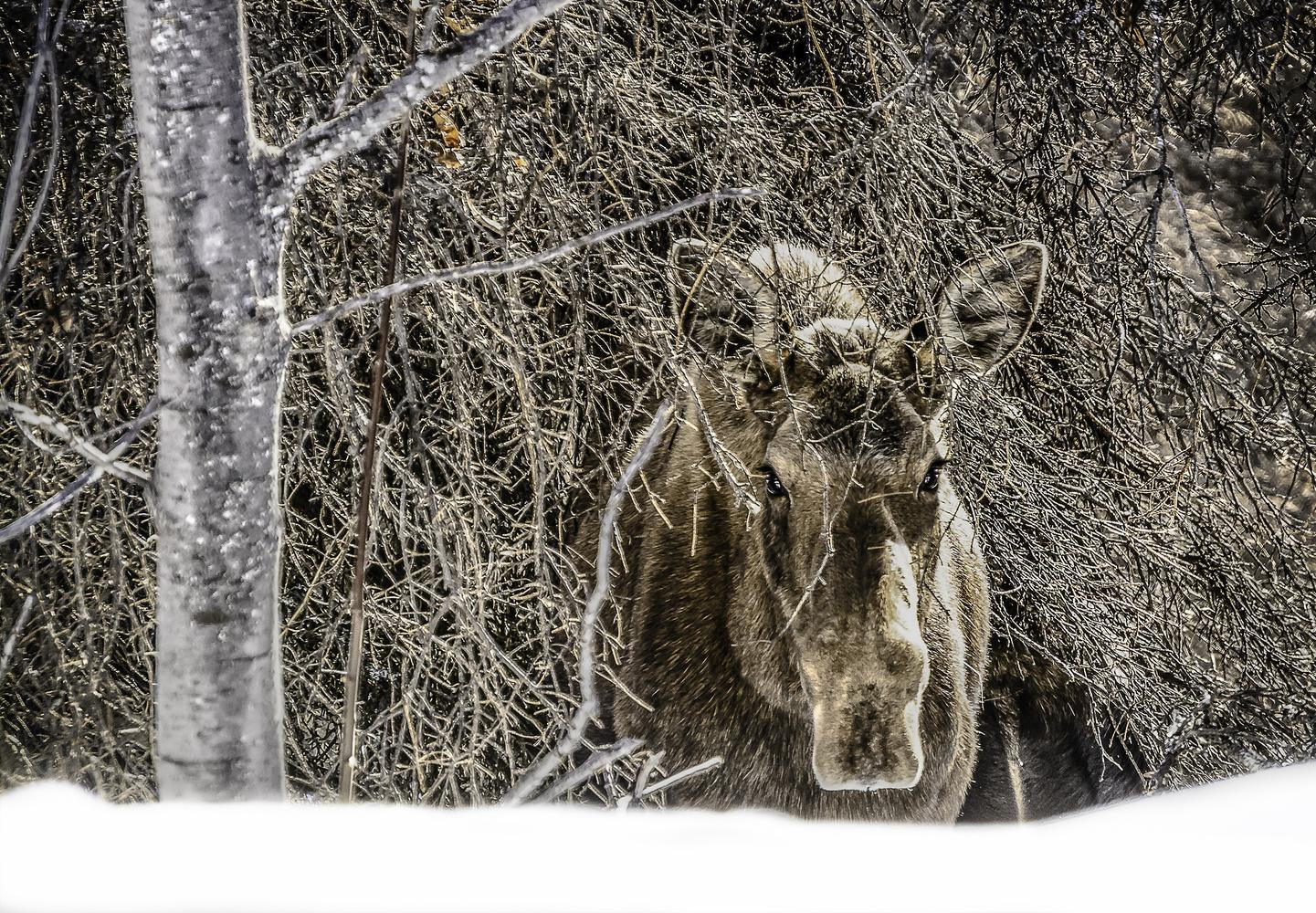 Alaska Moose by Heather Langlois