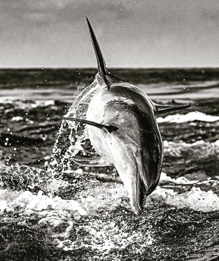 Soaring Dolphin by Marko Dimitrijevic