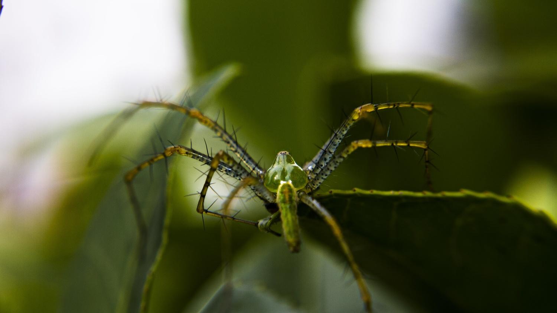 Linx Spider by Ricardo Sanchez Ruiz