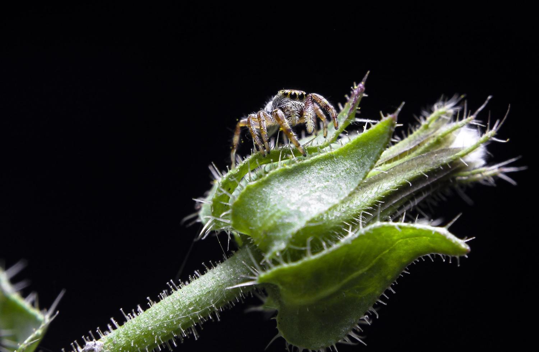 Salticidae posing by Ricardo Sanchez Ruiz
