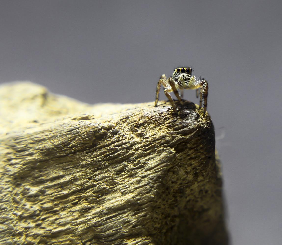 Salticidae by Ricardo Sanchez Ruiz