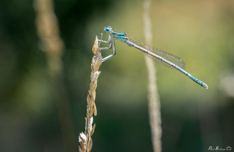 Dragon Fly by Paul Bilton