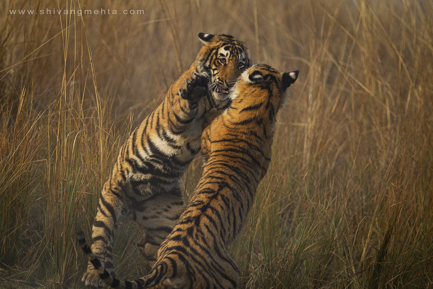 When tigers play by Shivang Mehta