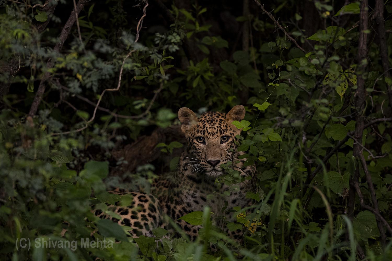 Monsoon Leopard by Shivang Mehta