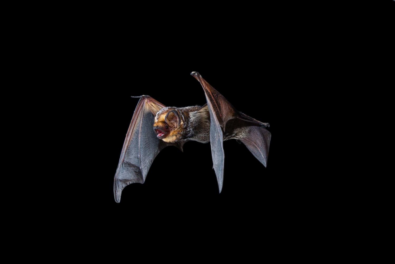 Hoary Bat by Jose Martinez-fonseca