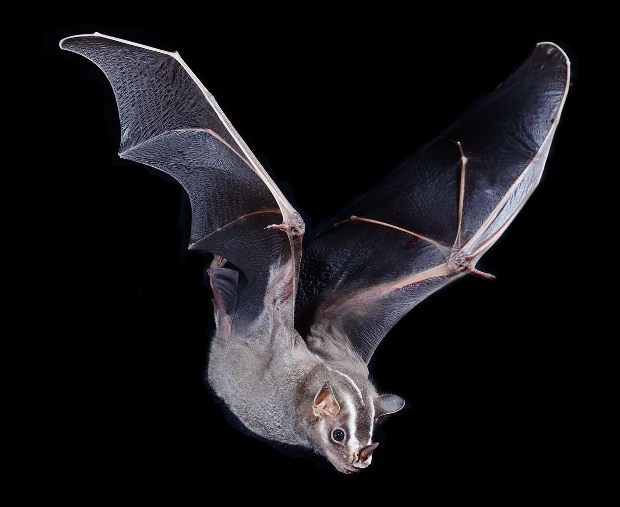 Great Stripe-faced Bat by Jose Martinez-fonseca