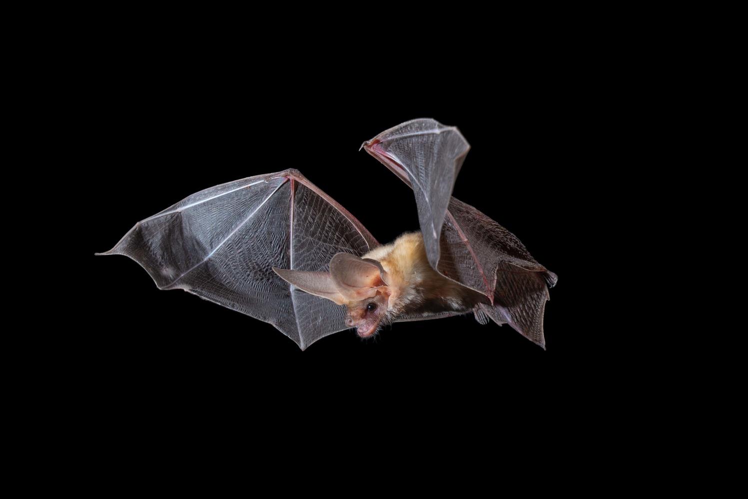 Pallid Bat by Jose Martinez-fonseca