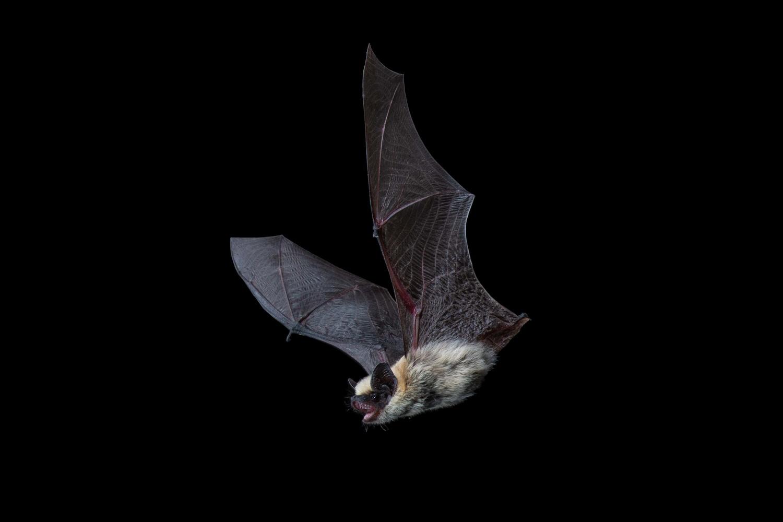Canyon Bat by Jose Martinez-fonseca