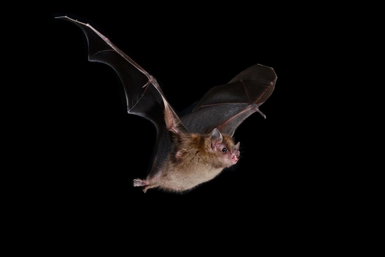 Honduran Little Shouldered Bat by Jose Martinez-fonseca