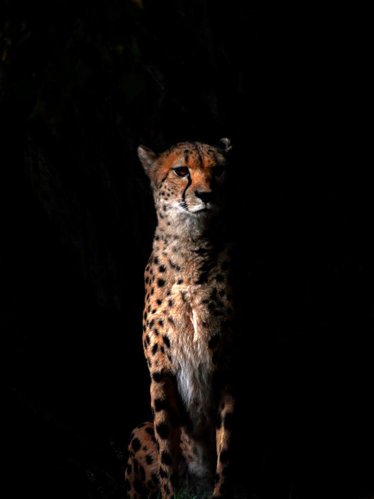 Cheetah portrait by Maria Öberg