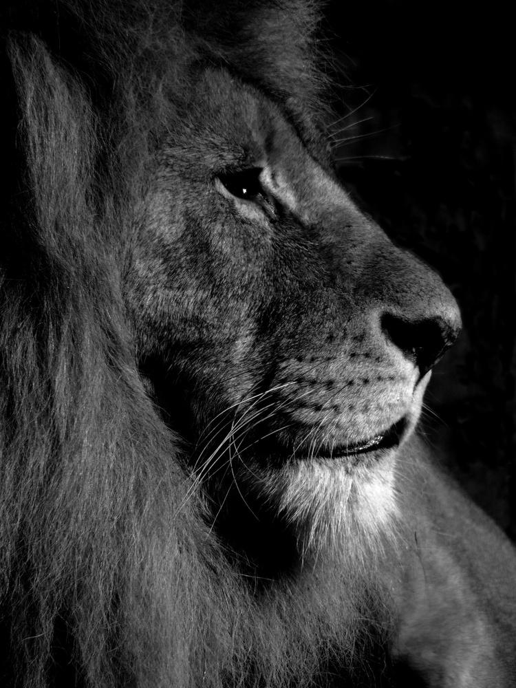 Lion portrait by Maria Öberg