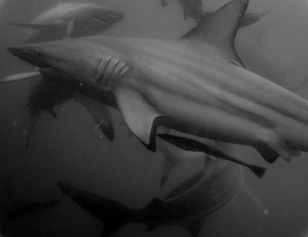 Shark Research Project by Jan Husar