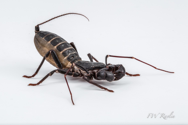 Vinegaroon - Whipscorpion by Bill Ravlin