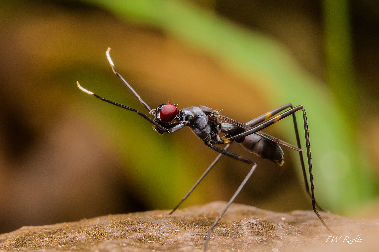 Micropezid fly - Mozambique by Bill Ravlin