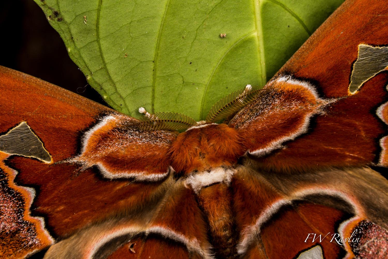 Saturniid adult close-up - Ecuador by Bill Ravlin