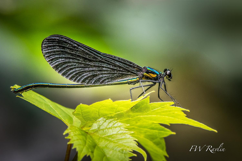 Calopteryx by Bill Ravlin