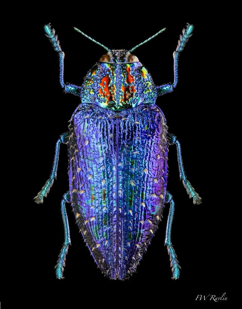 Jewel beetle - Buprestid by Bill Ravlin