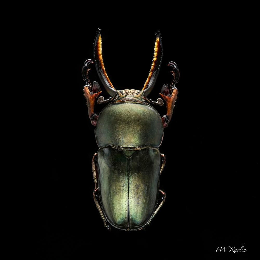 Stag beetle by Bill Ravlin