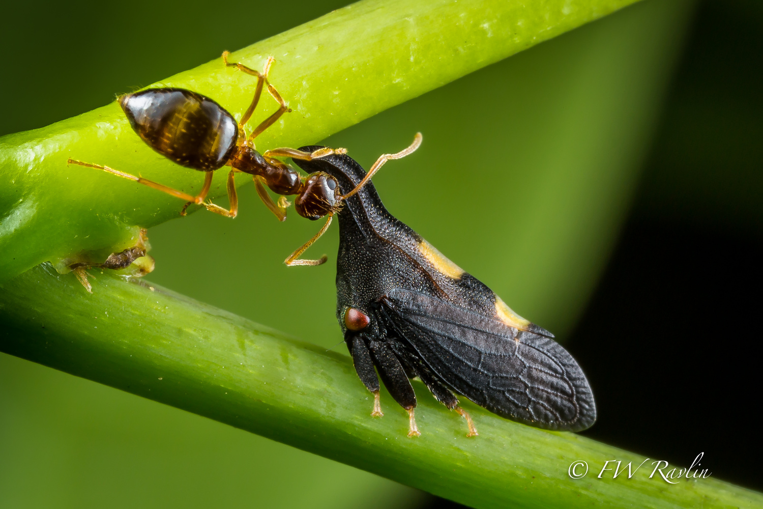 Two-marked treehopper tended by winter ant by Bill Ravlin