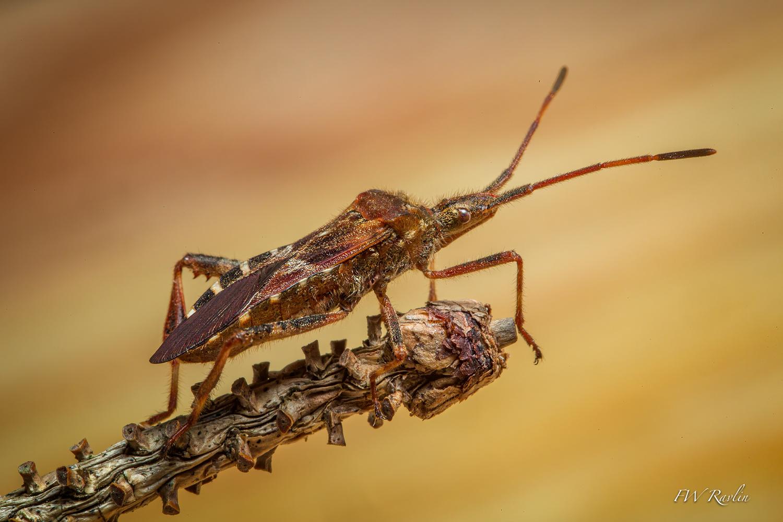 Western conifer seed bug by Bill Ravlin