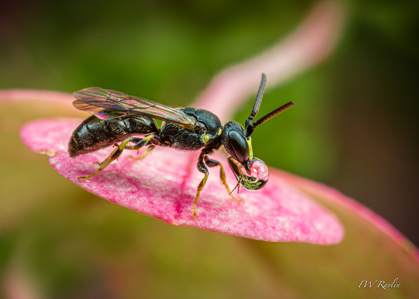 "Yellow-faced bee ""nectarine"" by Bill Ravlin"