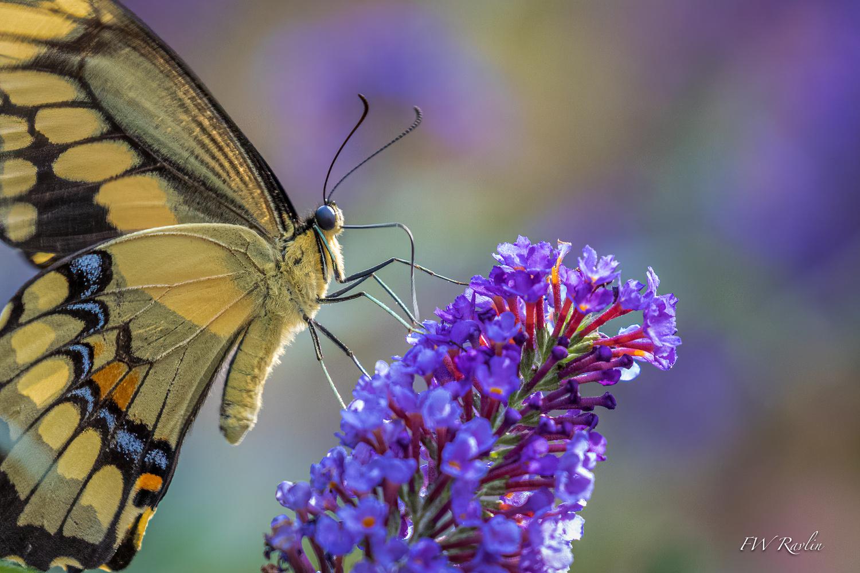 Giant swallowtail by Bill Ravlin