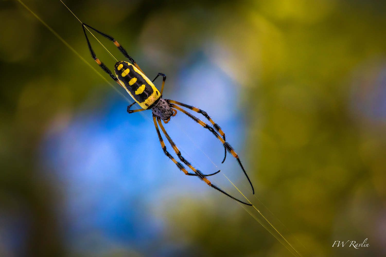 Banded-legged golden orb spider - Mozambique by Bill Ravlin