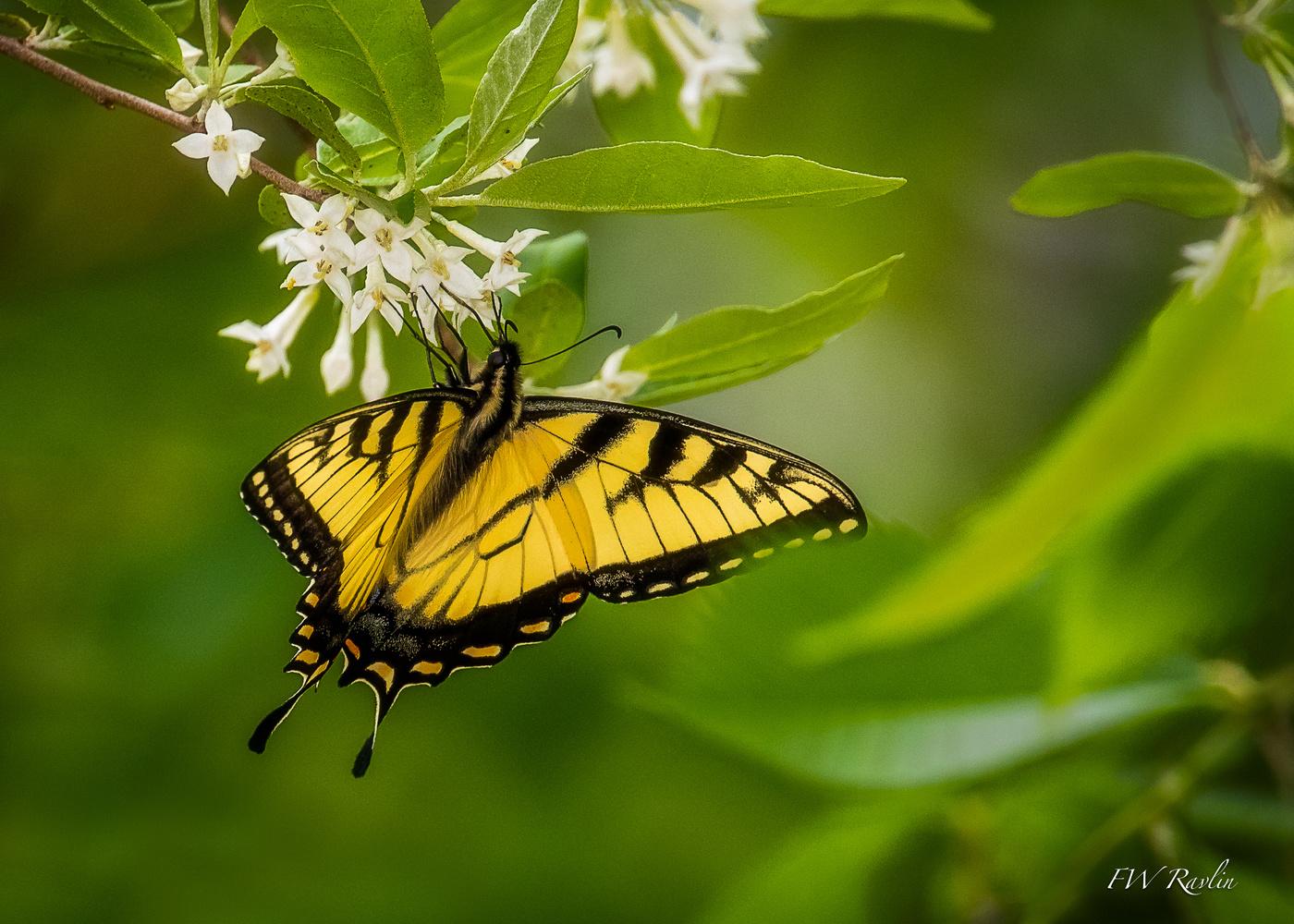Tiger swallowtail by Bill Ravlin