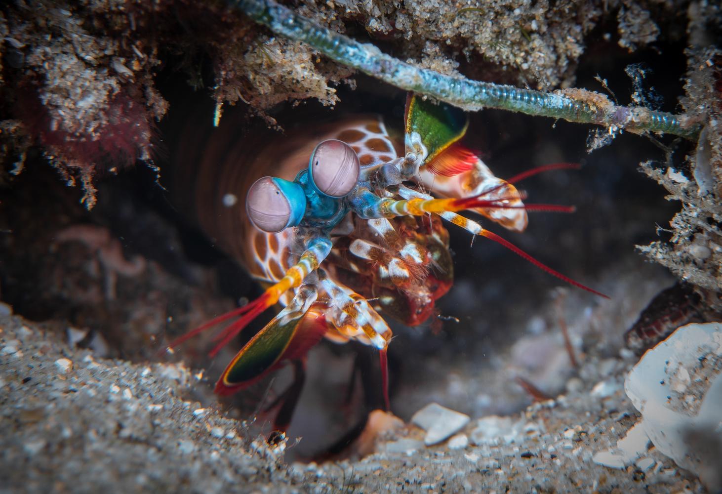 Peacock Mantis Shrimp by S Lake