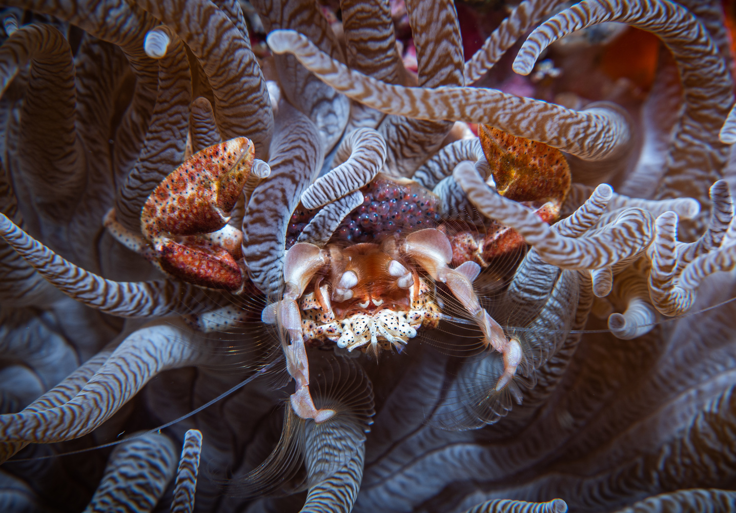 Crab with eggs by S Lake