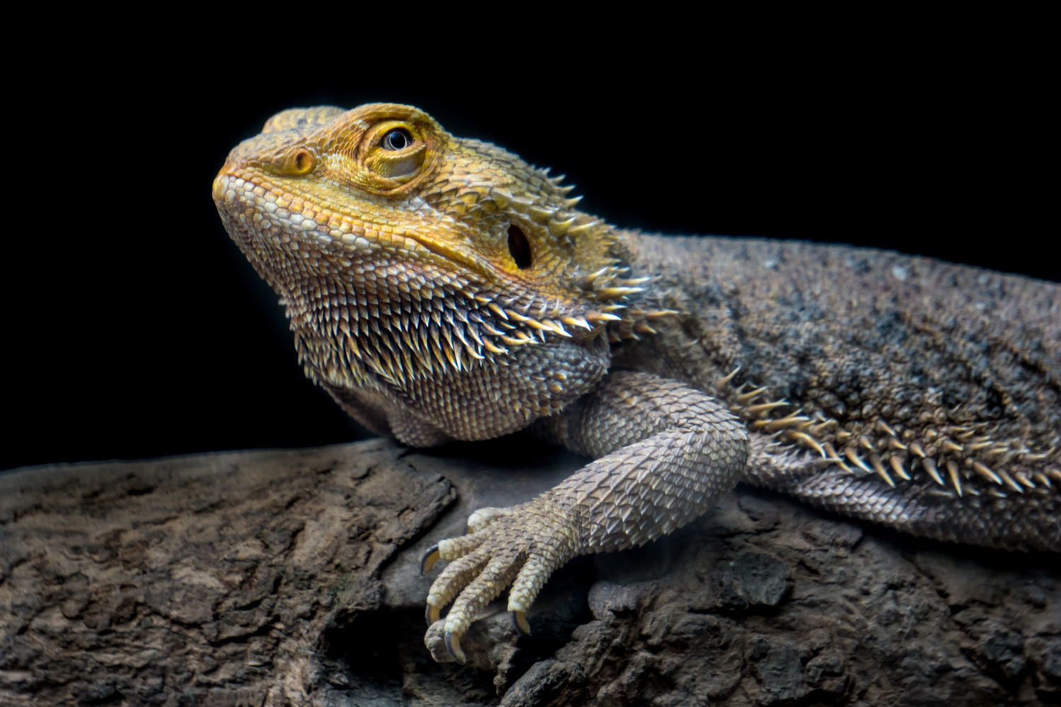 Bearded dragon by S Lake