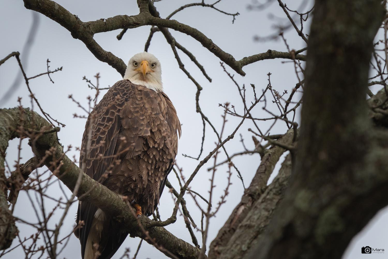Bald Eagle by Lawrence O'Mara