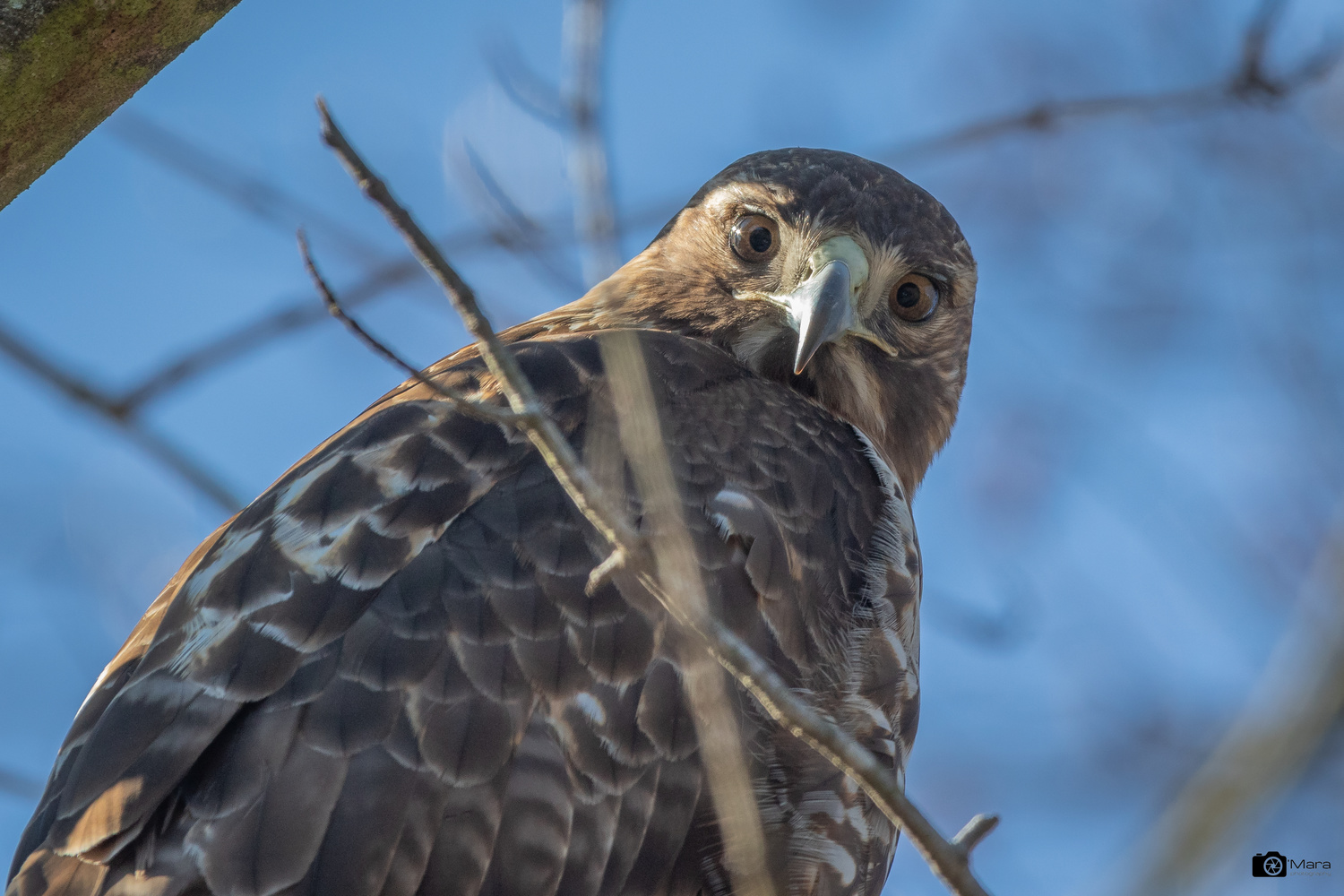 Red Tailed Hawk by Lawrence O'Mara