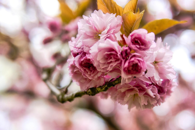 Sakura! by Igor Ogashawara