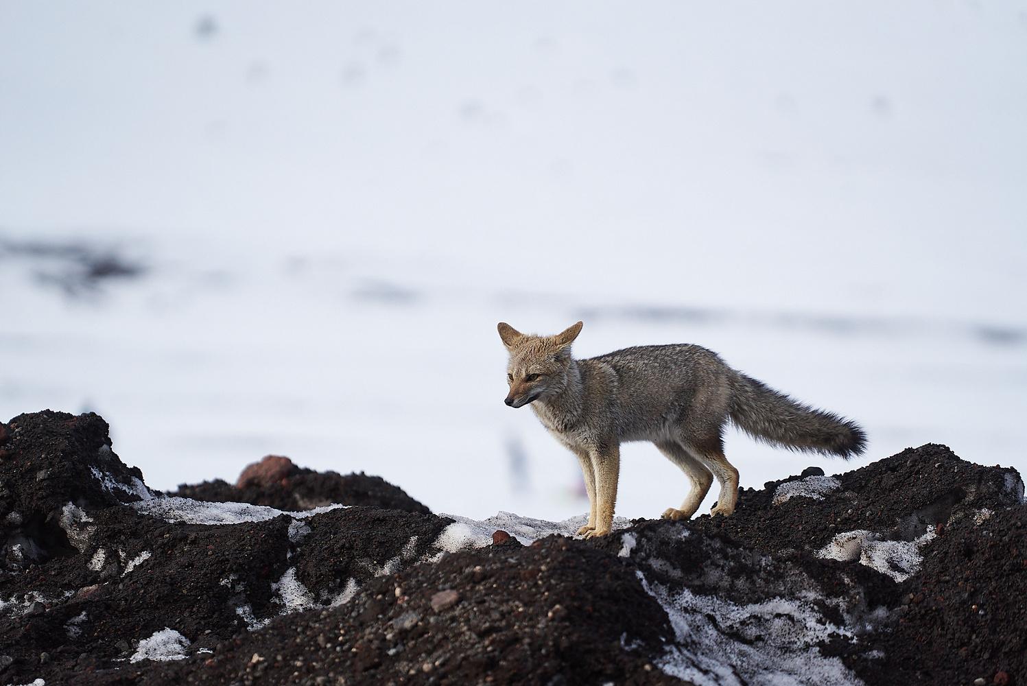 Snow Fox by Manuel Fuentes